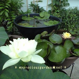 梅雨時のジメジメした空気を吹き飛ばす初夏の白い花たち ~ その1 水辺の花 ~
