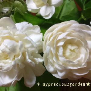 我が家の5種類の茉莉花(マツリカ・ピカケ・ハワイアンレイフラワー・アラビアンジャスミン)