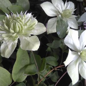 梅雨時のジメジメした空気を吹き飛ばす白い花たち ~ その3 梅雨に咲く白花クレマチス ~