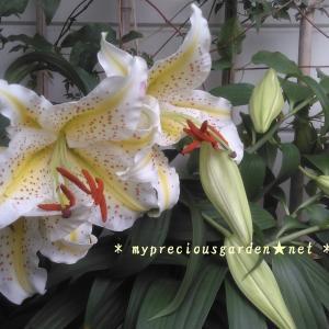 ヤマユリと、ちょっとだけ合歓の花の話