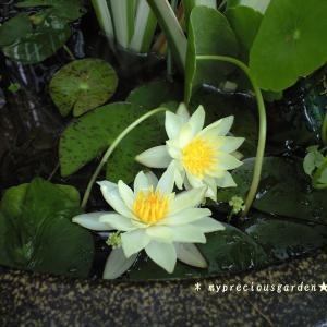 梅雨でも次々に咲く睡蓮と蓮(小型)