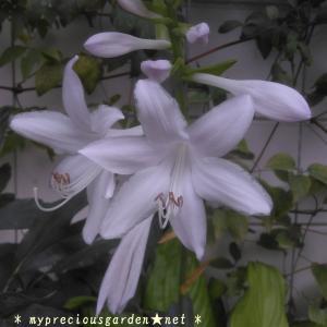 今、丁度周辺に香りを放っている強芳香性の真夏の花