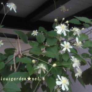 真夏に咲く一季咲き性クレマチス