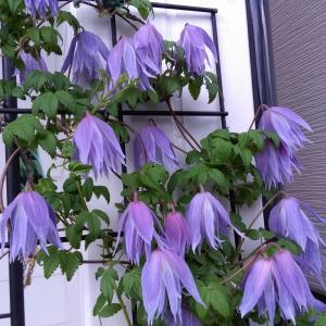 夏に返り咲く四季咲き性クレマチスその1。今頃丁度2番花満開の頃、早咲きタイプは3番花も