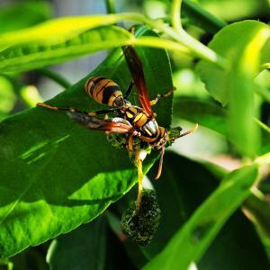 キアシナガバチが獲物を団子に!