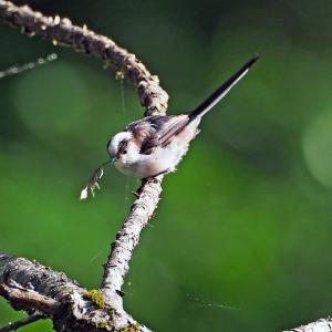 エナガ(鳥)
