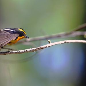 キビタキ(鳥)