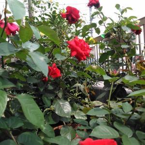 乱れ咲く薔薇