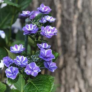 きらきら星。一目惚れした紫陽花
