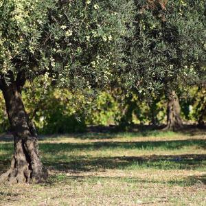 映画『オリーブの林をぬけて』をDVDで観て