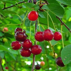 映画『桜桃の味』をDVDで観て