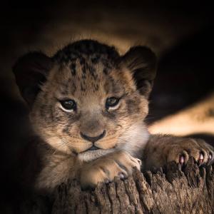 アフガニスタンの諺(ضرب المثل) 家のライオン、外ではキツネ