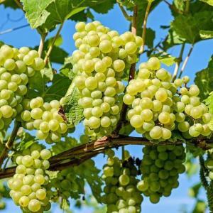葡萄を保存する方法(カンダハールの農園主たちの取り組み)