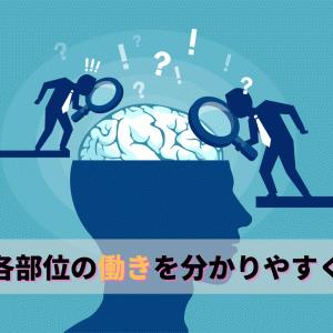 【脳の機能局在】各部位の働きを分かりやすく解説