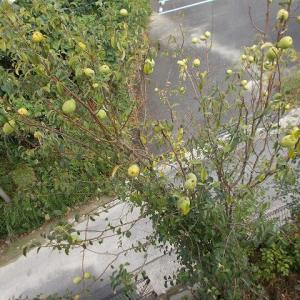 花梨の収穫(大慌て)