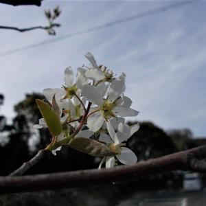 ジューンベリー開花!