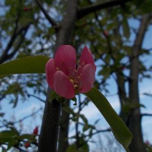 花梨開花!