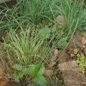 ネギ(分葱)の収穫と挿し木の植え替え