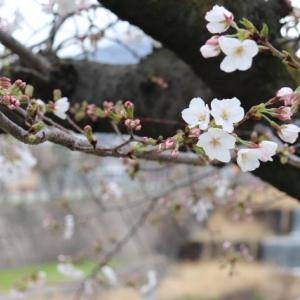 今日(2020.3.28)の芦屋川の桜