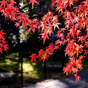 【紅葉情報】長岡京市の光明寺の紅葉色付き具合