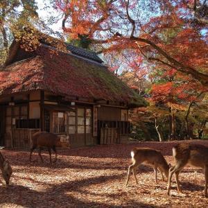 【奈良】水谷茶屋の紅葉と鹿