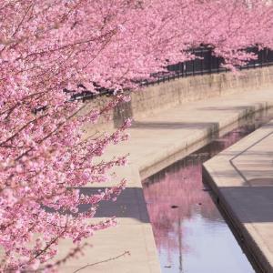 【見頃到来】淀水路の河津桜【2021.3.3】