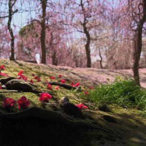 【第二の見頃】城南宮の枝垂れ梅【花びらの絨毯】