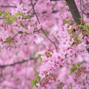 【桜梅】早咲きの桜と見頃の梅を求めて【3/7散策記】
