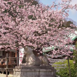 【梅桜】梅と早咲きの桜 嵐山編【3/10散策記】