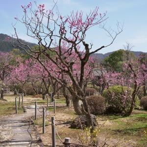 【梅桜】今年は無料公開中の随心院梅園と宇治散策【3/11散策記】