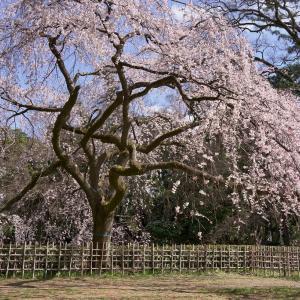 【桜】京都御苑・出水と近衛邸跡糸桜【3/14散策記】