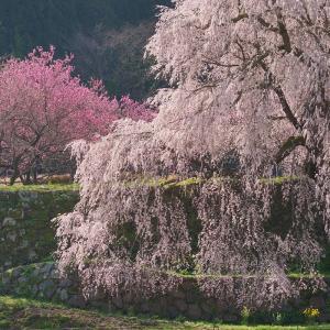 【桜】奈良の又兵衛桜と唐古・鍵遺跡へ【3/26散策記】