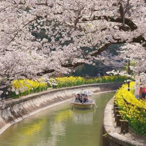【桜】山科疏水と伏見桃山城・十石舟の桜【3/27散策記】