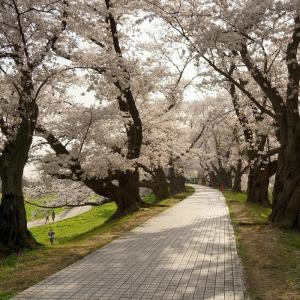 【桜】東一口と背割堤の桜並木【3/29散策記】