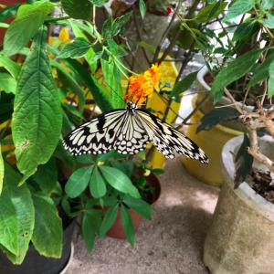 【てだこチョウハウス】と言う小屋を発見!浦添の蝶々園は結構穴場!