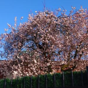 桜じゃないって