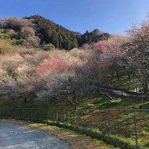 木下沢から景信山(写真は木下沢梅林)