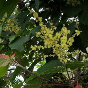 アカメガシワの花