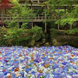雨引観音方丈池の紫陽花