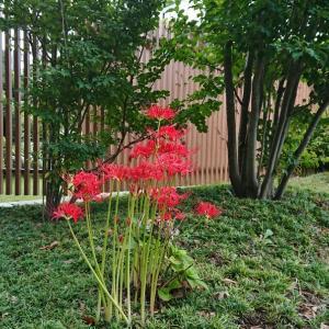 花壇の曼珠沙華