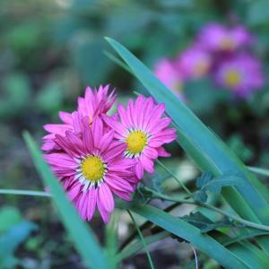 素敵な菊の花