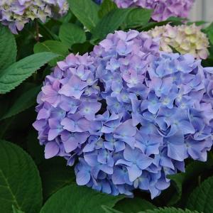 お散歩コースの紫陽花
