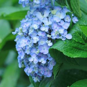 花びらがくるんっとした~可愛い紫陽花ちゃん