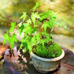 盆栽 育て方