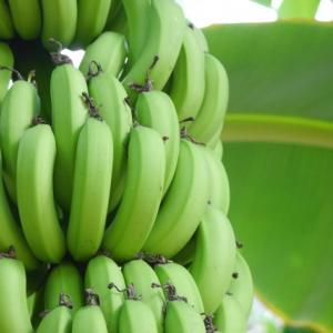青バナナ粉がダイエットに適している理由