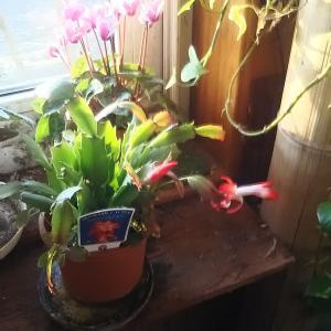 居間窓際の温室か ミニシクラメンとシャコバサボテン