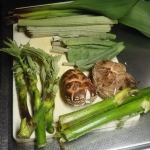 昨夜の晩飯の食材 裏庭で アイヌネギ ウド フキ 椎茸