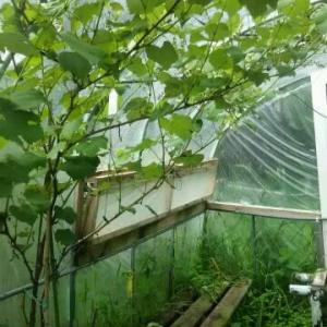 小ビニールハウス ブドウが小枝を伸ばし房をつけている