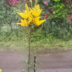 百合とミニバラ 雨の中 室内から見える