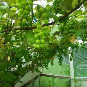 小ビニールハウスのブドウ 粒が大きく 楽しみな秋の収穫